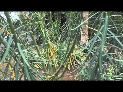 TABAIBA AMARGA: Euphorbia lamarckii (www.riomoros.com)