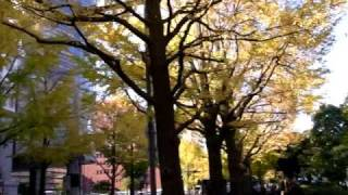 横浜山下公園通りの銀杏並木