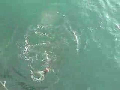 Juno pier beach cobia fishing youtube for Juno pier fishing report