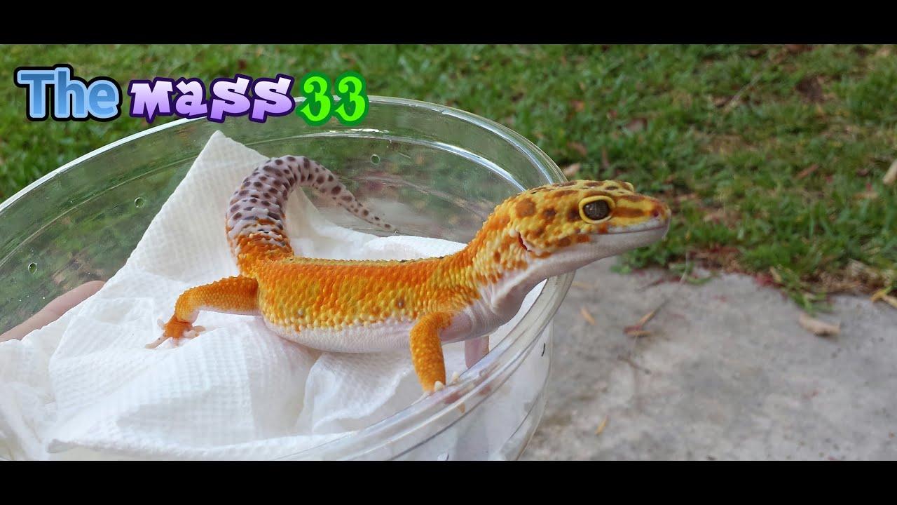 Skittles Morph Leopard Gecko