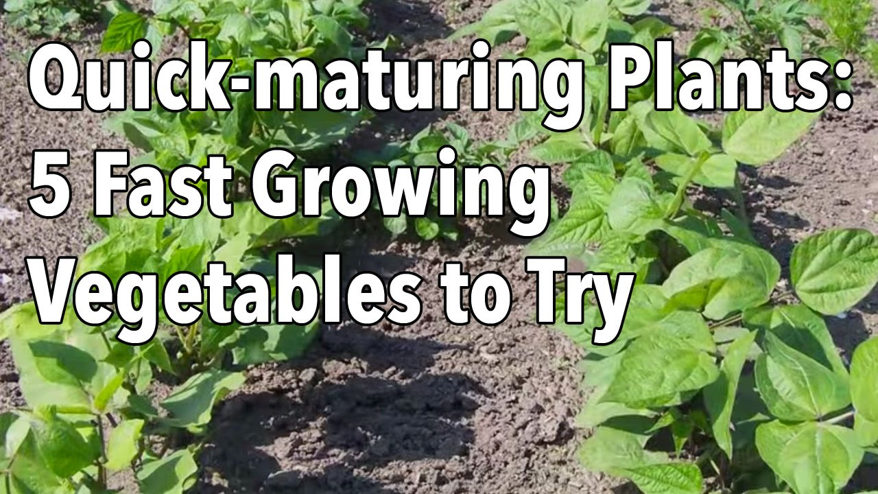 Quick Maturing Plants 5 Fast Growing Vegetables To Try