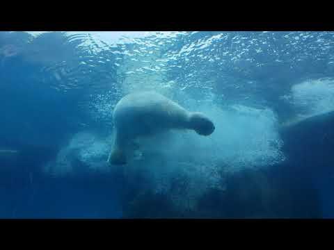 Underwater view of polar bear
