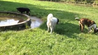 Rottweiler Vs Dogo Argentino / English Mastiff Mix