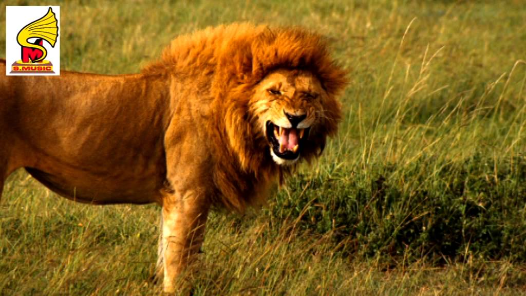 Lion Roar 2 Sound Effect = Animal Sound for Children - YouTube - photo#33