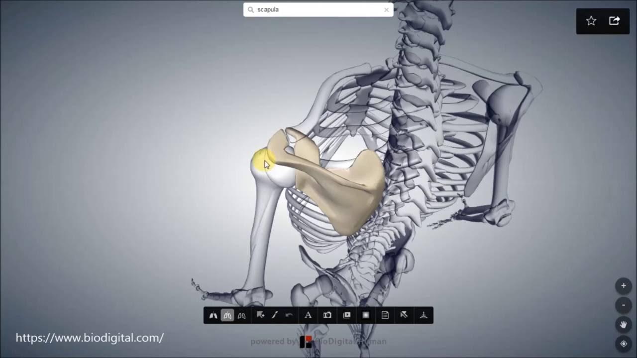 Scapula- Schulterblatt - YouTube