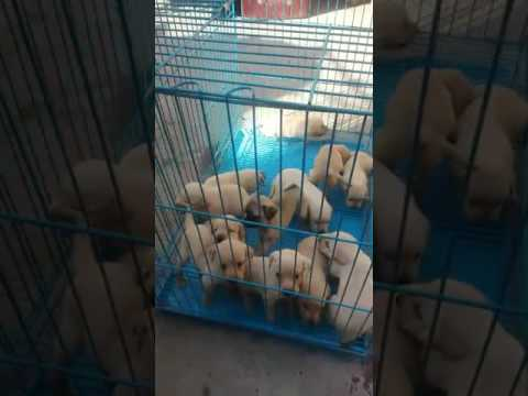 Wholesale rate 9999039993  puppies and dogs for sale in delhi wholesale price puppies delhi india