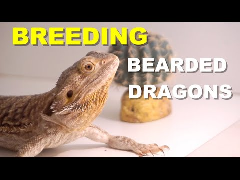 Breeding Tips - Choosing The Right Bearded Dragons