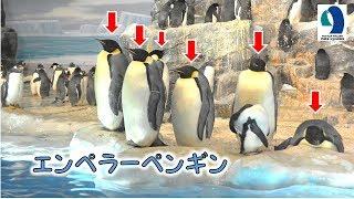 名古屋港水族館は日本でも2箇所しかないエンペラーペンギンを飼育してい...