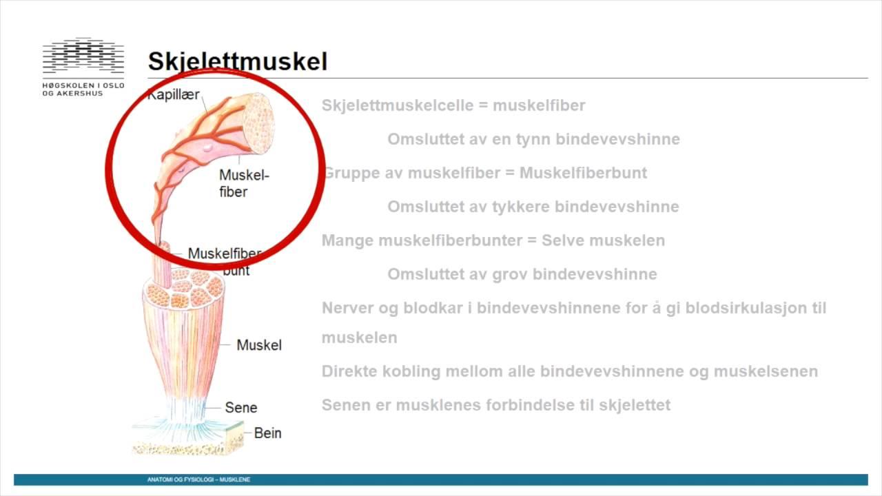 Muskler: Skjelettmuskulatur del1