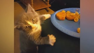 You&#39d never imagine how FUNNY CATS can be! - Biggest LAUGH of your LIFE!