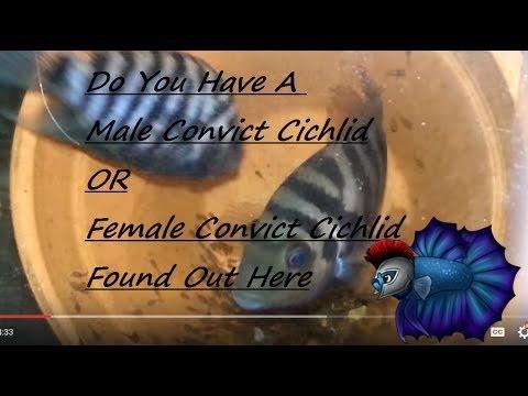 How To Sex Convict Cichlids - Male Plus Female Convict Cichlids