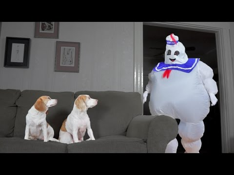 Dogs vs. Dancing Marshmallow Puft Man: Funny Dogs Maymo & Penny