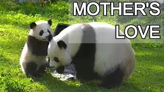 Panda cub playing with his mother at Berlin Zoo : Adorable video