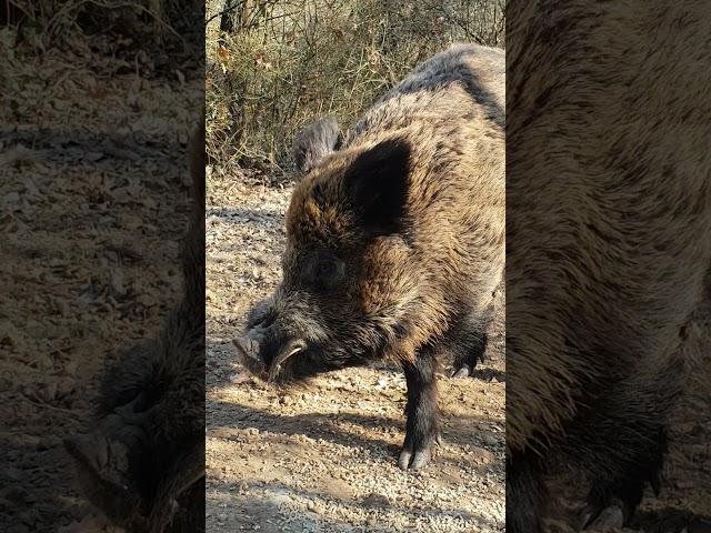 Tripod the Wild Boar