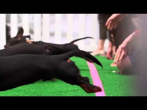 Wiener Dogs Race in Super Slow Motion