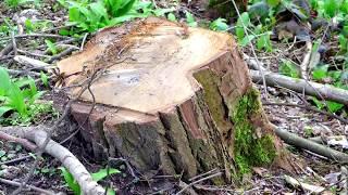 Jak Pozbyć Się Pnia Po ściętym Drzewie Fenomenalny Sposób