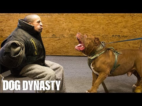 getting-smashed-by-hulk---the-world's-biggest-pitbull-|-dog-dynasty