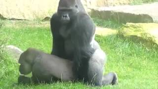 Gorillas Mating at the Zoo.. so funny!