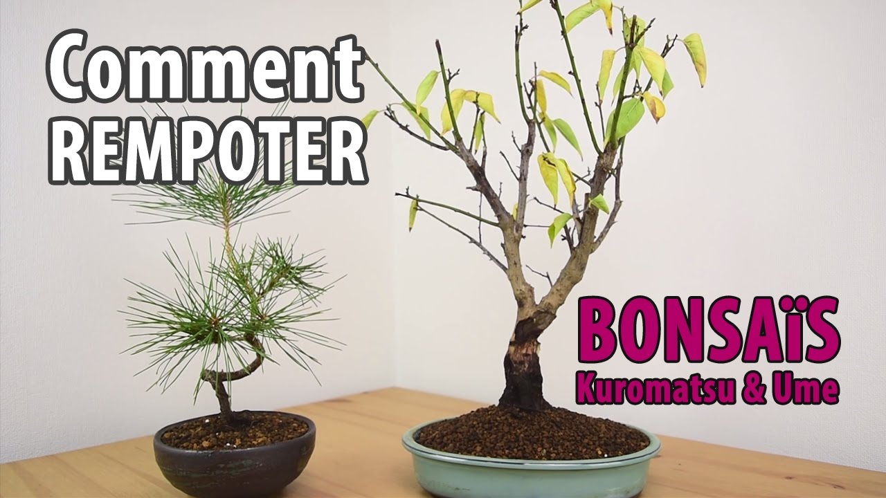 bonsai rempotage prunus. Black Bedroom Furniture Sets. Home Design Ideas