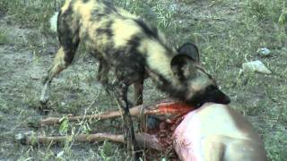 wild dog eating an impala