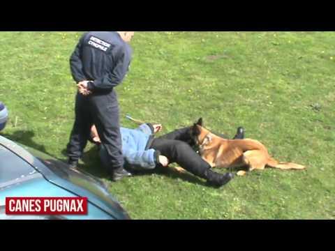 canes pugnax