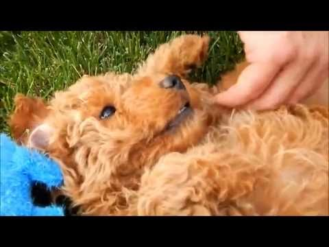 Teddy Bear Goldendoodle Puppy 8 weeks Old!