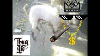 Sexy Bakra | Ready For Mating | Thug Life | 18+ only |Animals Vlog INDIA Kolkata