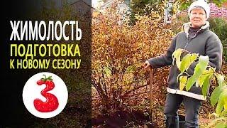 видео Жимолость. Продажа и посадка саженцев жимолости. Описание, посадка, уход. Прайс-лист на плодовые деревья и кустарники
