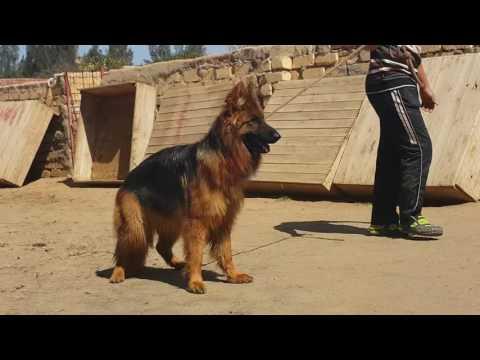 double coat long hair top breed german shephard 03