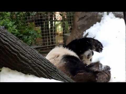 Gao Gao Enjoying Panda Snow Day