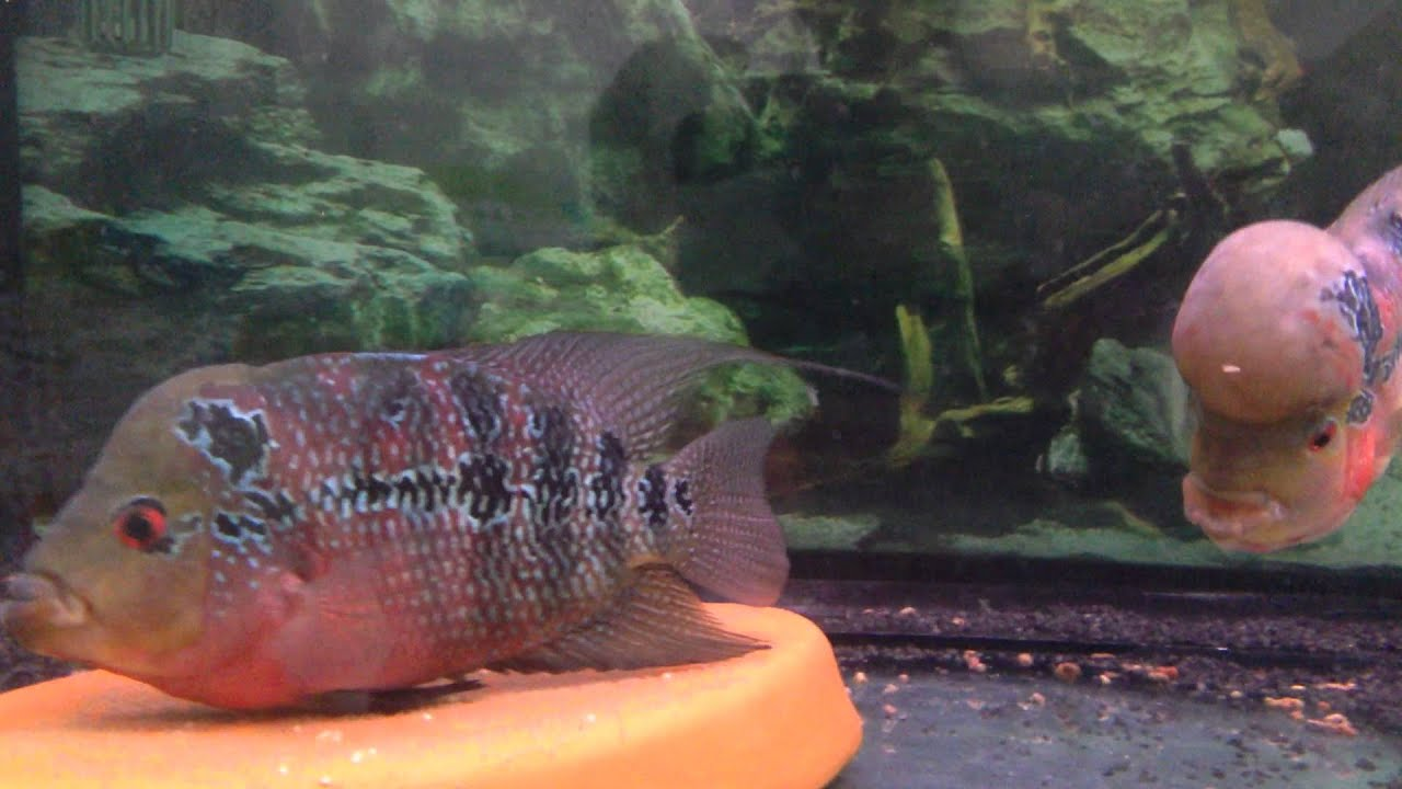 Red Dragon Flowerhorn Male And Female - Youtube-3185