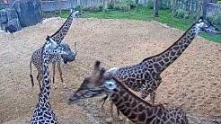 Houston Zoo Giraffe Platform Cam   Feeding Live Cam   Ozolio Webcam Services