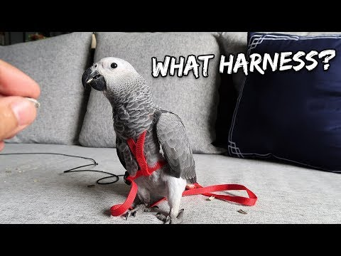 How I Tricked My Bird Into Wearing an Aviator Harness | Vlog #260