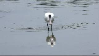 Black faced Spoonbill 2, FullHD JH1RNZ