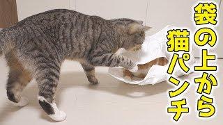 茶トラ猫の「ちゃい」が袋に入りました。サバトラ猫の「すし」はその様...