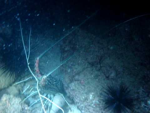 diving Fujairah UAE - night dive - lobster