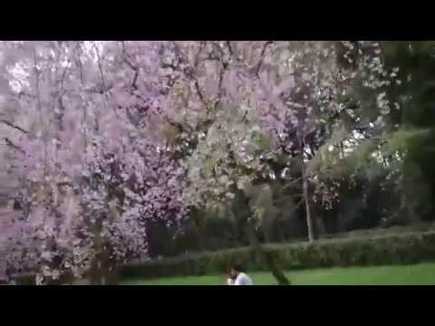 京都御所 桜のカーテン Kyoto Gosho  Cherry blossom´s curtains