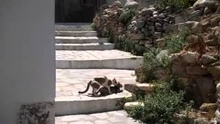 HOT HORNY CAT SEX  on Naxos Island.... Just like the BIG CATS do it!!.....May 13 2013