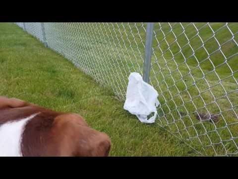 Dangerous Pitbull puppy vs. Plastic bag