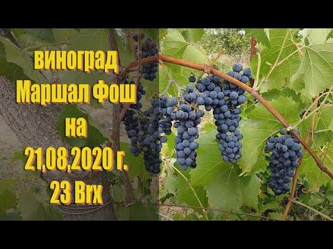 Виноград МАРШАЛ ФОШ (Marechal Foch) на 21,08,2020г. Технический сорт винограда описание.