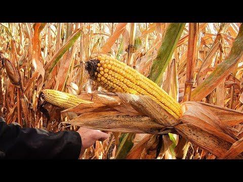 MONSTER Ears - High Moisture Corn Harvesting | How Farms Work