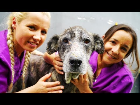 Old giant dog abandoned in a landfill comes back to life !