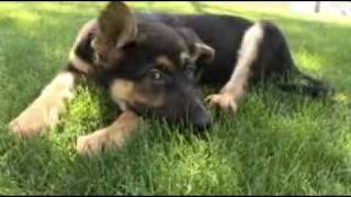 Dog Breed Info On Dvd. Breed Specific Videos From Doggy Dvd.
