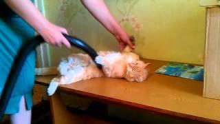 Рыжий кот и пылесос (Red cat and a vacuum cleaner)