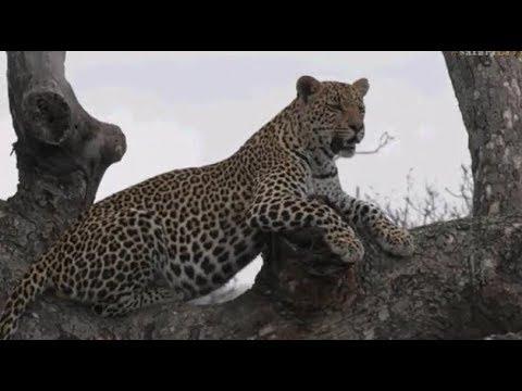 Pt 2  Safari Live's Sunrise Safari Drive at 7:00 AM on Oct 17, 2017 ( Shadow & Hosana )