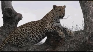 Pt 2  Safari Live's Sunrise Safari Drive at 7:00 AM on Oct 17, 2017 ( Shadow & Hosana ) thumbnail