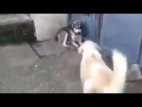Lucu . Induk anjing marah anaknya di kagetin.
