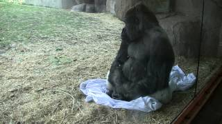 Gorilla Waking Up Sitting On Bed Sheet