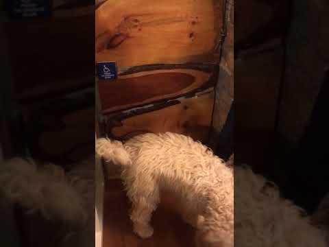 Labradoodle Service Dog Training