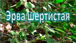 Эрва шертистая (Пол-пала)